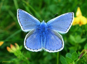 great-yarmouth-wildlife-Common-Blue-butterfly
